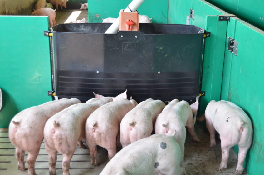 Pigs using TR3D